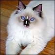 Angel Girls Ragdoll Cattery