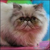 Himalayan Cat Breeders with Himalayan kittens for sale