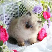 Dollface Persian Kittens
