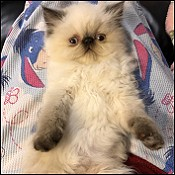 Chocolate Persians Lilac Persians Cat breeders chocolate kittens
