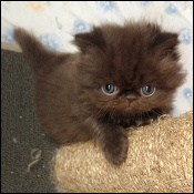 American bobtail kittens for sale in oklahoma