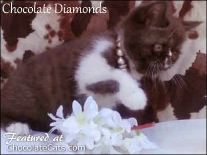Chocolate Diamonds Kittens