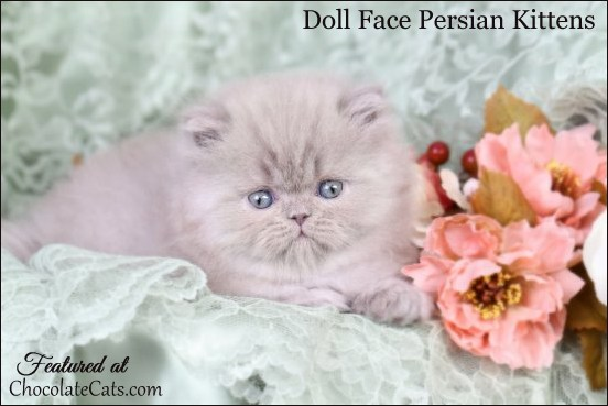 VDoll Face Persian Kittens