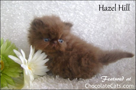 Hazel Hill Persian Kittens