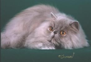 GC Odin Stop and Smell the Roses, Lilac Persian
