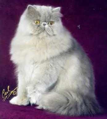 himalayan persian cats. Color/Sex: Lilac Himalayan,