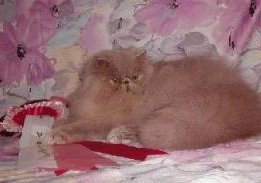 Chocoland's Rare Beauty, a Lilac Persian is winning ribbons at a show in France