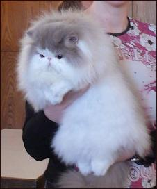 "lilac-white Persian male ""Jokercats Lilac Drops'n Candys"