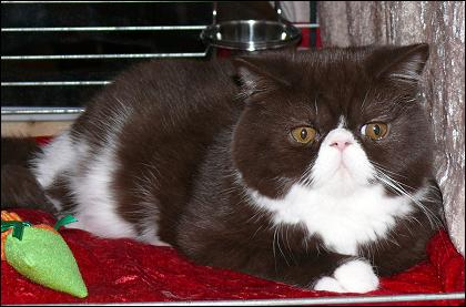 Chocolate & White Exotic male, Jokercats Chocolate Gianduja Best In Show