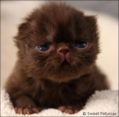 Chocolate+Ragdoll+Kittens+For+Sale Chocolate Brown Kittens images