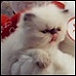 Himalayan kitten photo from Goldenhearts