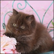 Chocolate Persian Kittens & Persian chocolate kittens for
