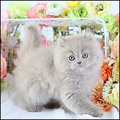 Chocolate Exotic Kittens, Chocolate Ragdoll Kittens, Lilac
