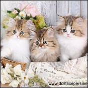 Chocolate Exotic Kittens, Chocolate Ragdoll Kittens, Lilac Ragdolls