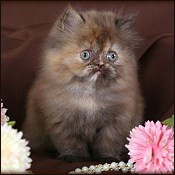 Chocolate Persian Kittens & Persian chocolate kittens for sale by