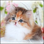 Chocolate Persian Kittens & Lilac Persian Cats For Sale by chooclate ...