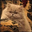 Persian kitten photo from Purrticular