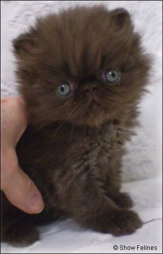 Chocolate Kitten Pictures - chocolate persians, bicolors