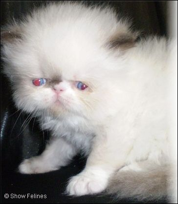 Chocolate & White Point Himalayan Kitten 5 weeks old