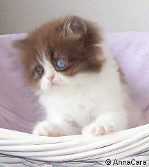 Chocolate & White Bicolor Persian Kitten (Odd eyed)