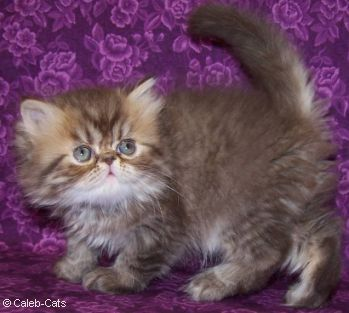 Chocolate Tabby Persian Kitten