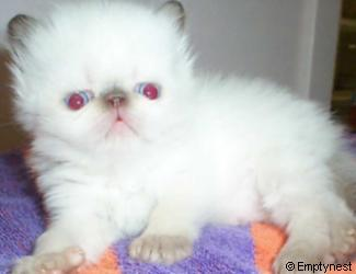 Emptynest Chocolate Point Himalayan Kitten