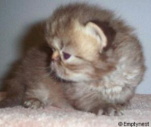 Emptynest Chocolate Tabby Persian Kitten
