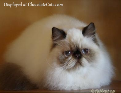 Chocolate Point Himalayan Kitten 5 months old