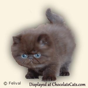 Chocolate Persian kitten 2 months old