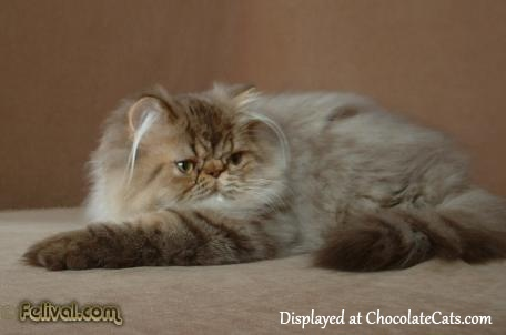 ChocolateTabby Persian kitten 4 months old