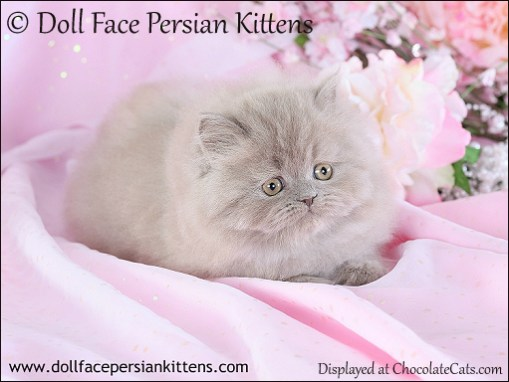 Doll Face Persian Kitten Lilac