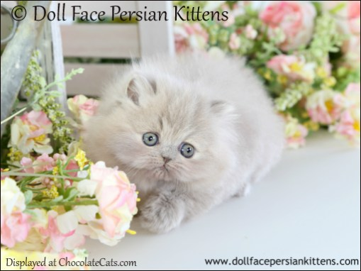 Lilac Kitten Pictures - Lilac Persians, Bicolors, Himalayans, Exotic