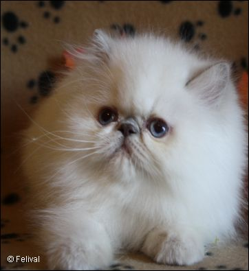 Felival Lilac Point Himalayan Kitten