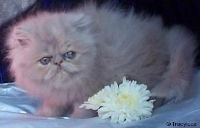 Tracylooe Lilac Cream Persian Kitten
