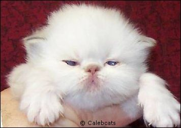 Lilac Lynx Point Himalayan Kitten from Calebcats Cattery