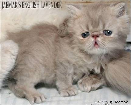 Lilac Lynx Mackerel Tabby Persian Kitten from Jaemak cattery