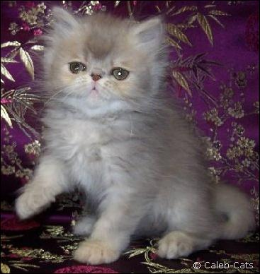 Lilac patched tabby Persian rom Caleb-Cats Cattery