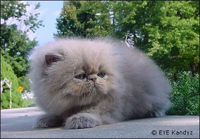 Lilac Persian Kitten from Eye Kandyz