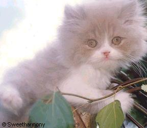 Sweet Harmony Lilac & White Persian Kitten