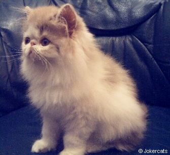 Lilac and White Persian kitten from Jokercats Cattery
