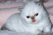 4 weeks old Himalayan kittens