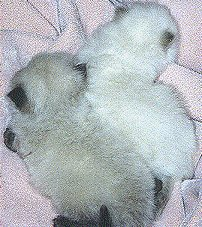 8 weeks old Himalayan kittens