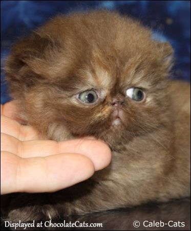 Chocolate Tortoiseshell Persian Kitten