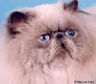 Himalayan cat photo