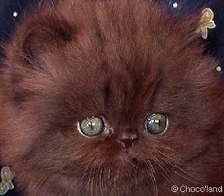 Brown persian cat with blue eyes