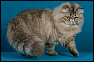 GC Featherlands Weird Science, Chocolate Tabby Persian